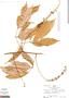 Paullinia capreolata Radlk., Peru, R. B. Foster 5254, F