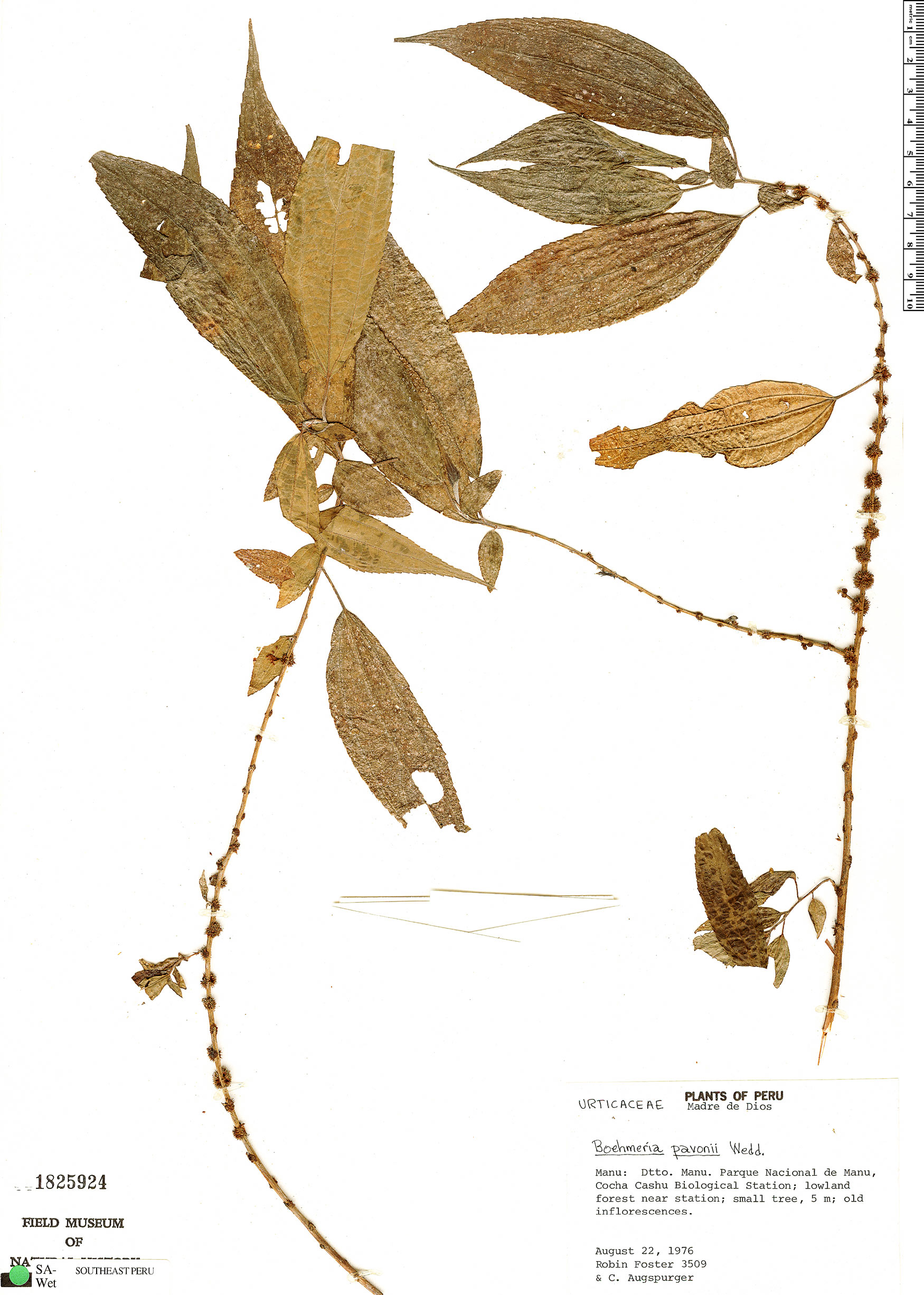 Espécime: Boehmeria pavonii