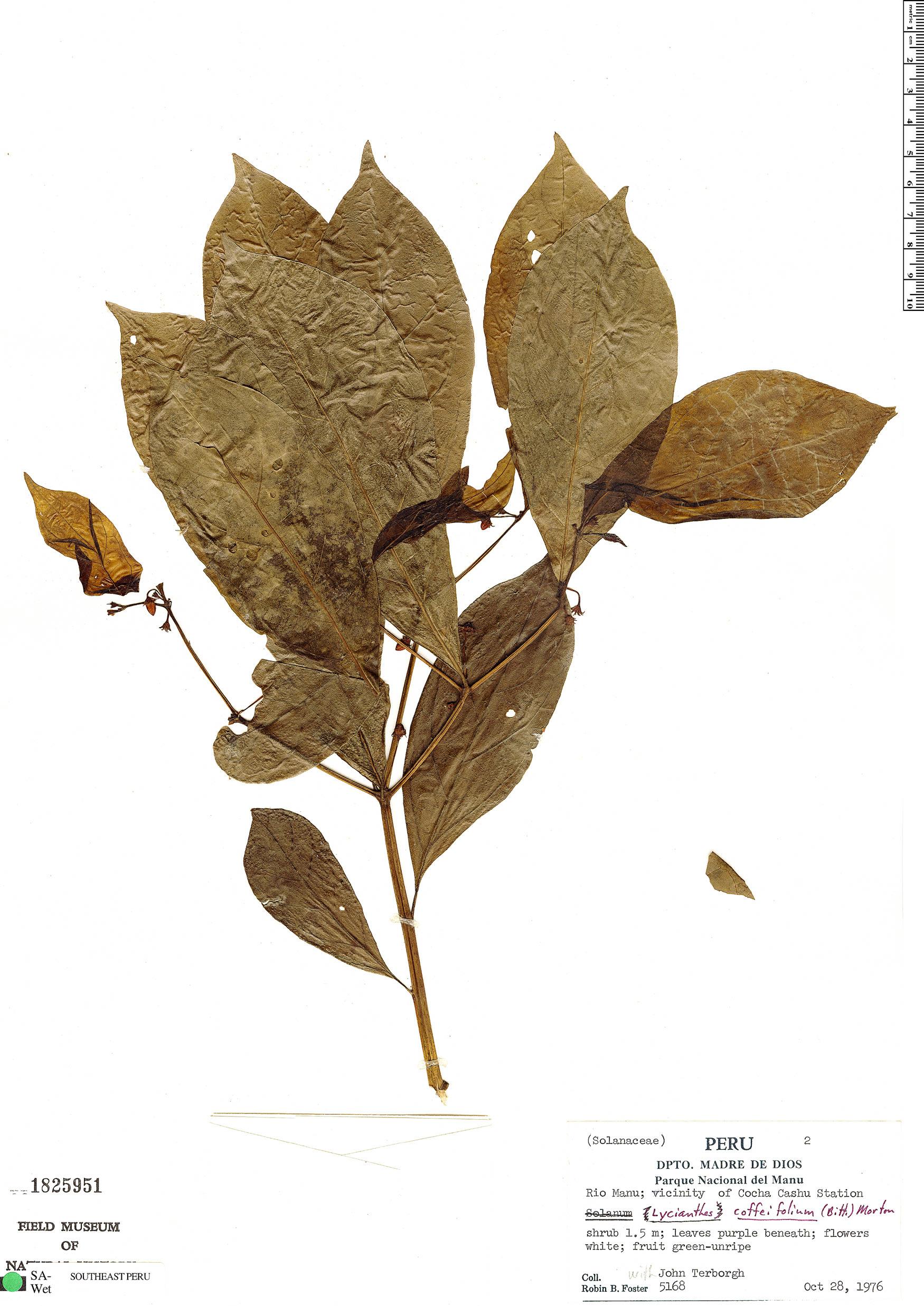 Specimen: Lycianthes coffeifolia