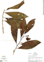 Cestrum silvaticum Francey, R. B. Foster 2727, F