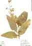 Cestrum strigilatum, Peru, R. B. Foster 4002, F
