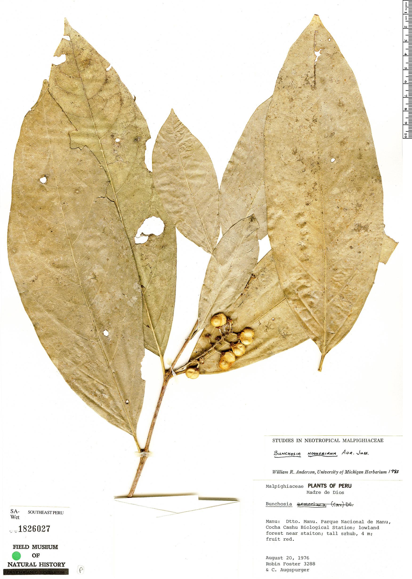 Espécime: Bunchosia hookeriana