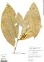 Bunchosia hookeriana A. Juss., Peru, R. B. Foster 3288, F