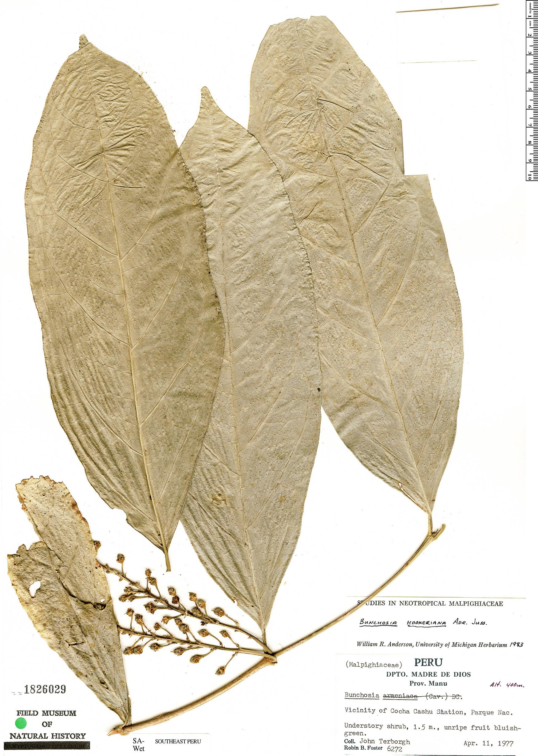 Specimen: Bunchosia hookeriana