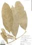 Bunchosia hookeriana A. Juss., Peru, R. B. Foster 6272, F