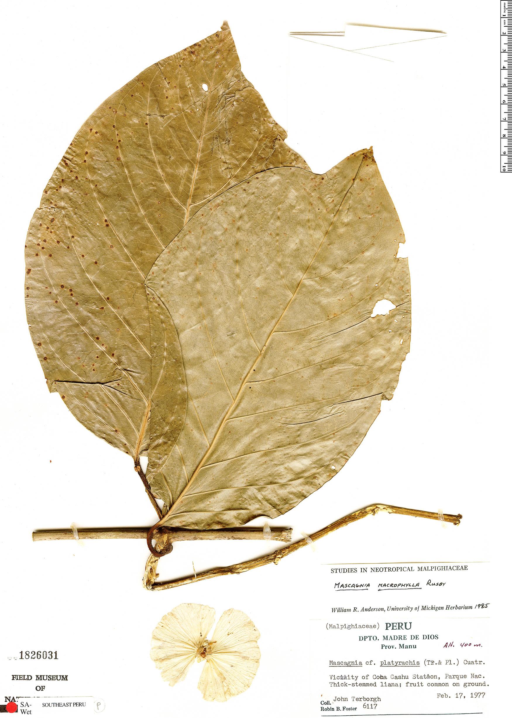 Specimen: Adelphia macrophylla
