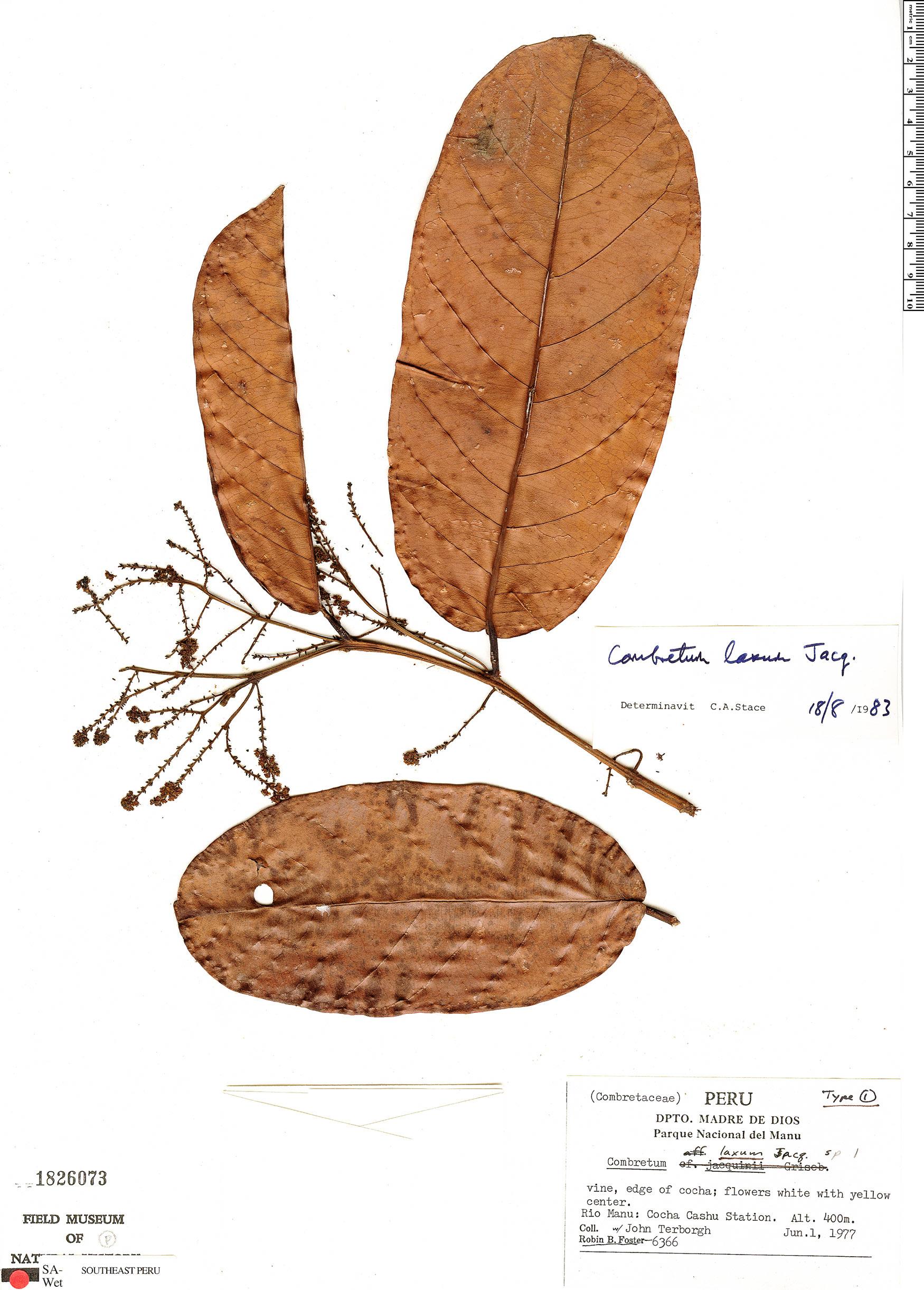 Specimen: Combretum laxum