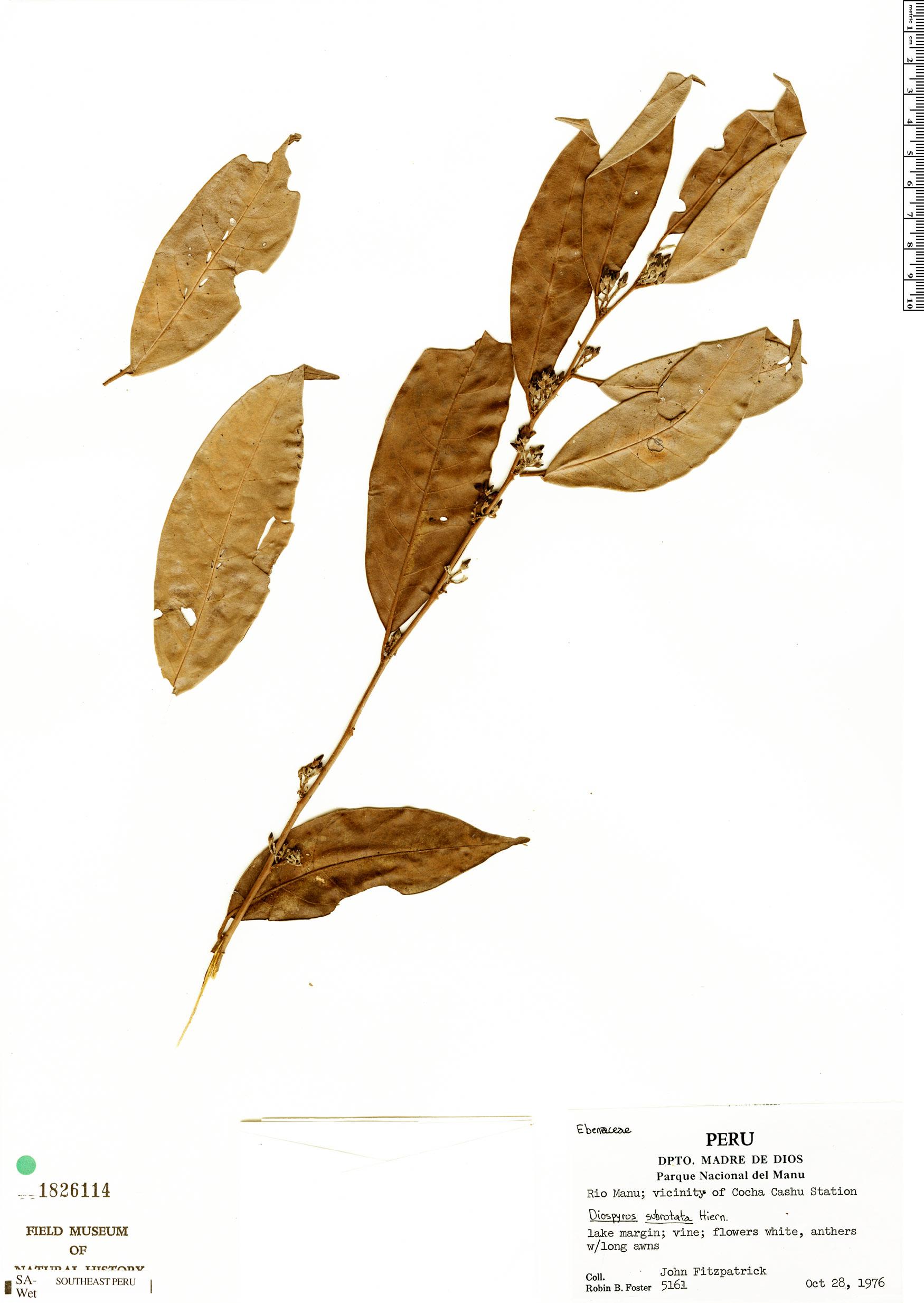 Specimen: Diospyros subrotata