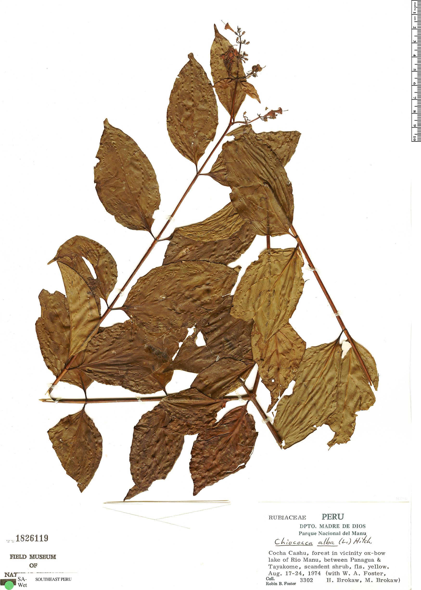 Specimen: Chiococca alba