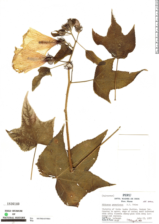 Specimen: Hibiscus peruvianus