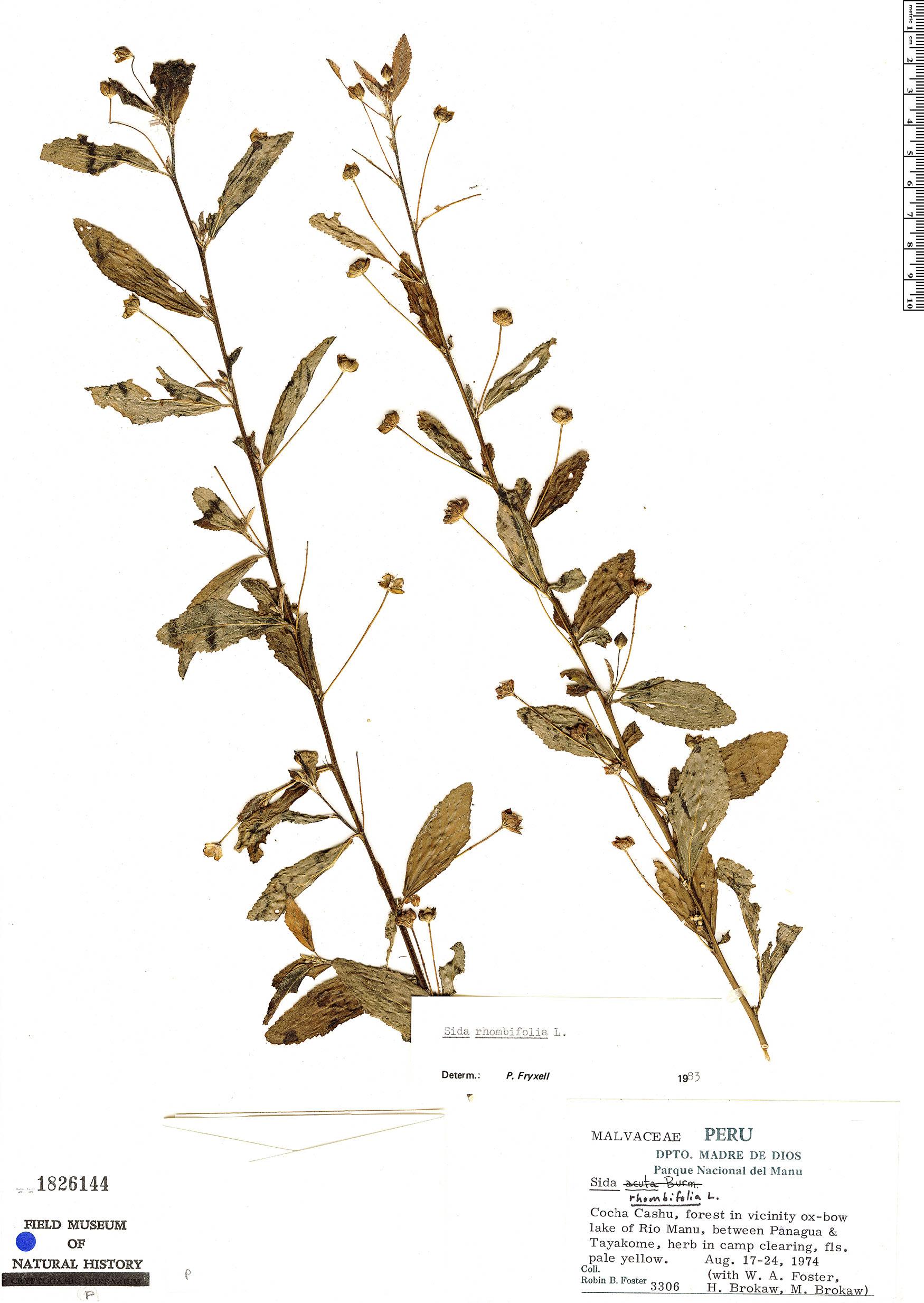 Specimen: Sida rhombifolia