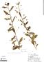 Sida rhombifolia L., Peru, R. B. Foster 3306, F