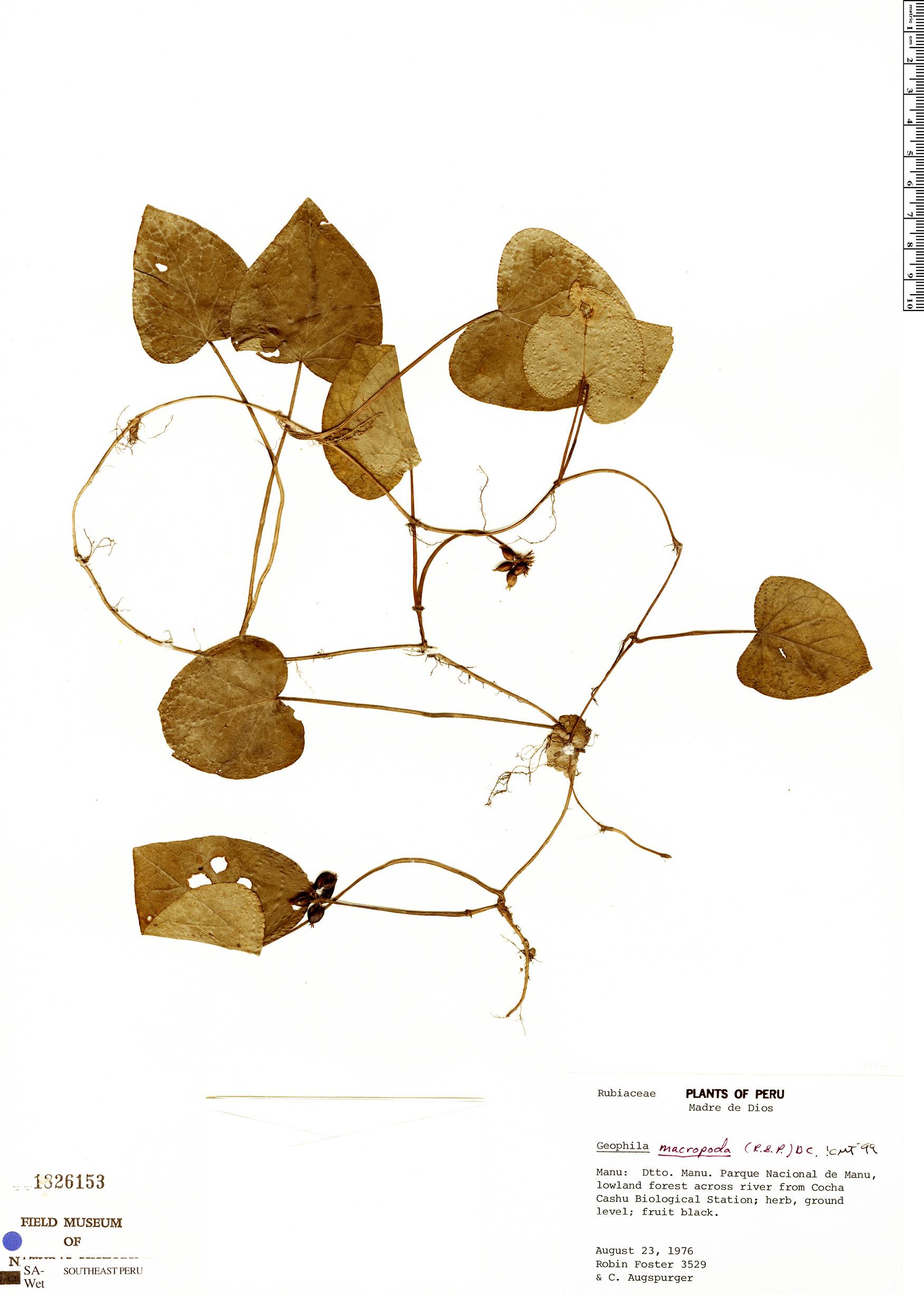 Specimen: Geophila macropoda