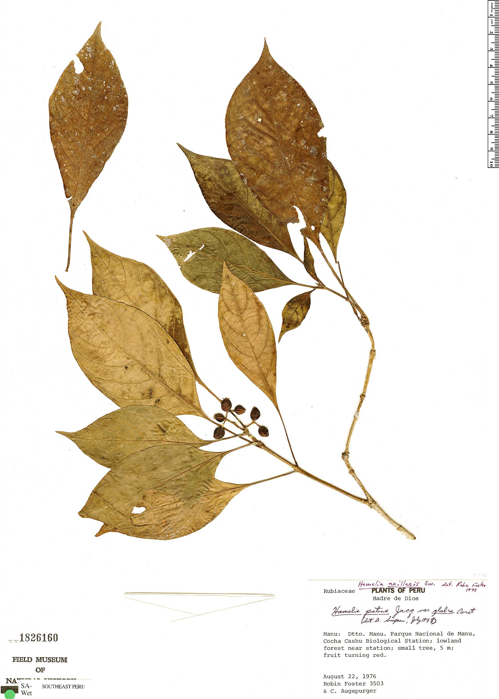 Specimen: Hamelia axillaris