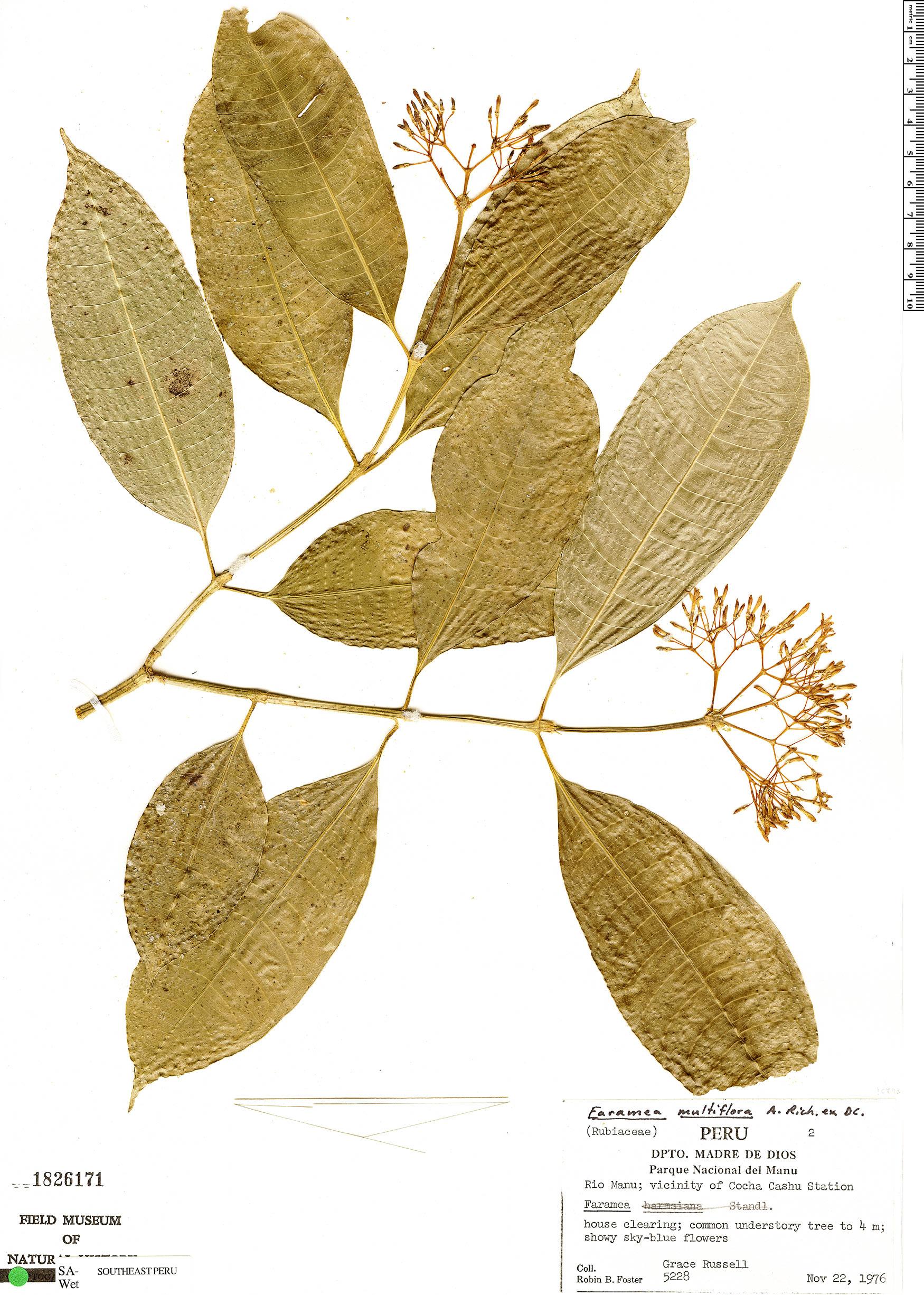 Espécimen: Faramea multiflora