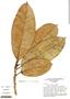 Ficus frondosa Standl., Brazil, G. T. Prance 17966, F