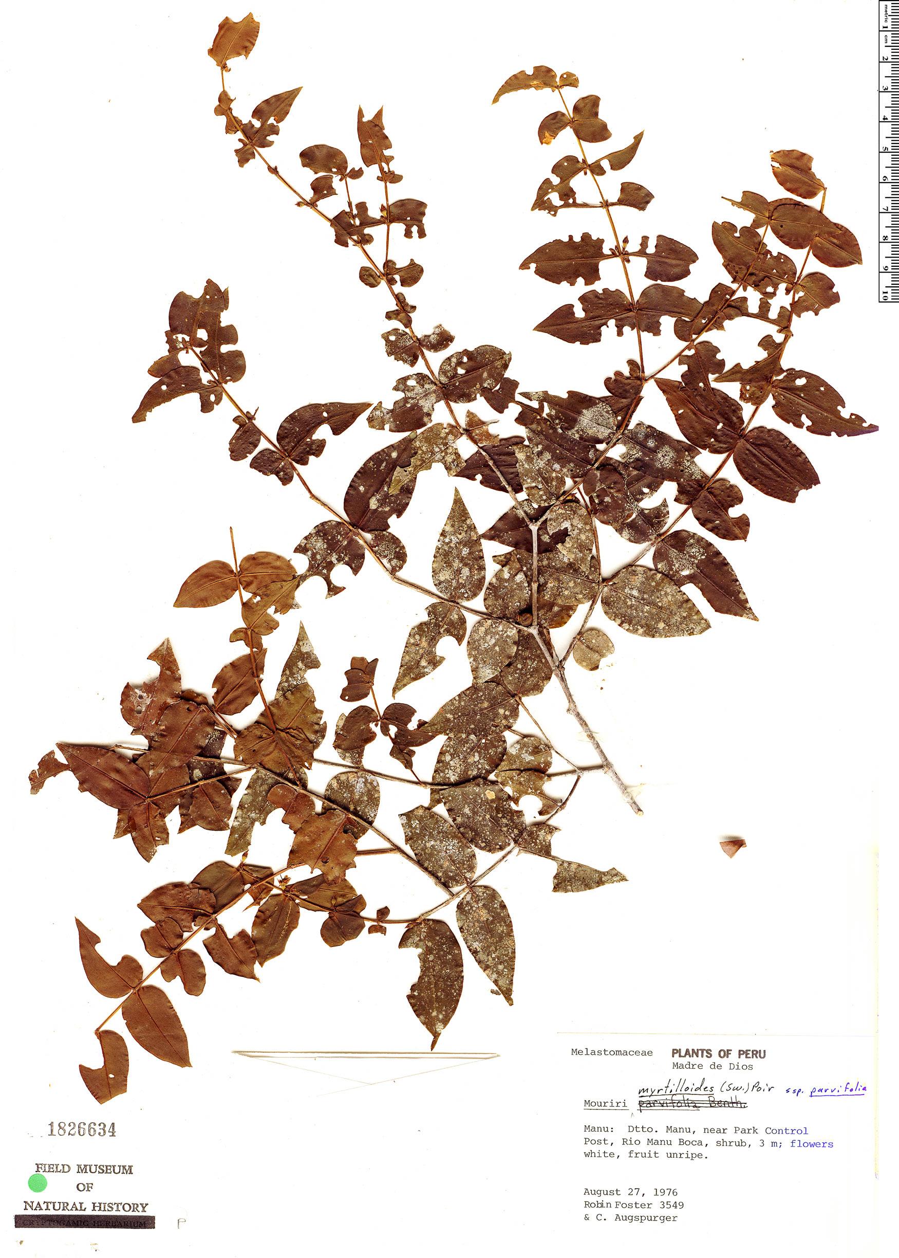 Specimen: Mouriri myrtilloides