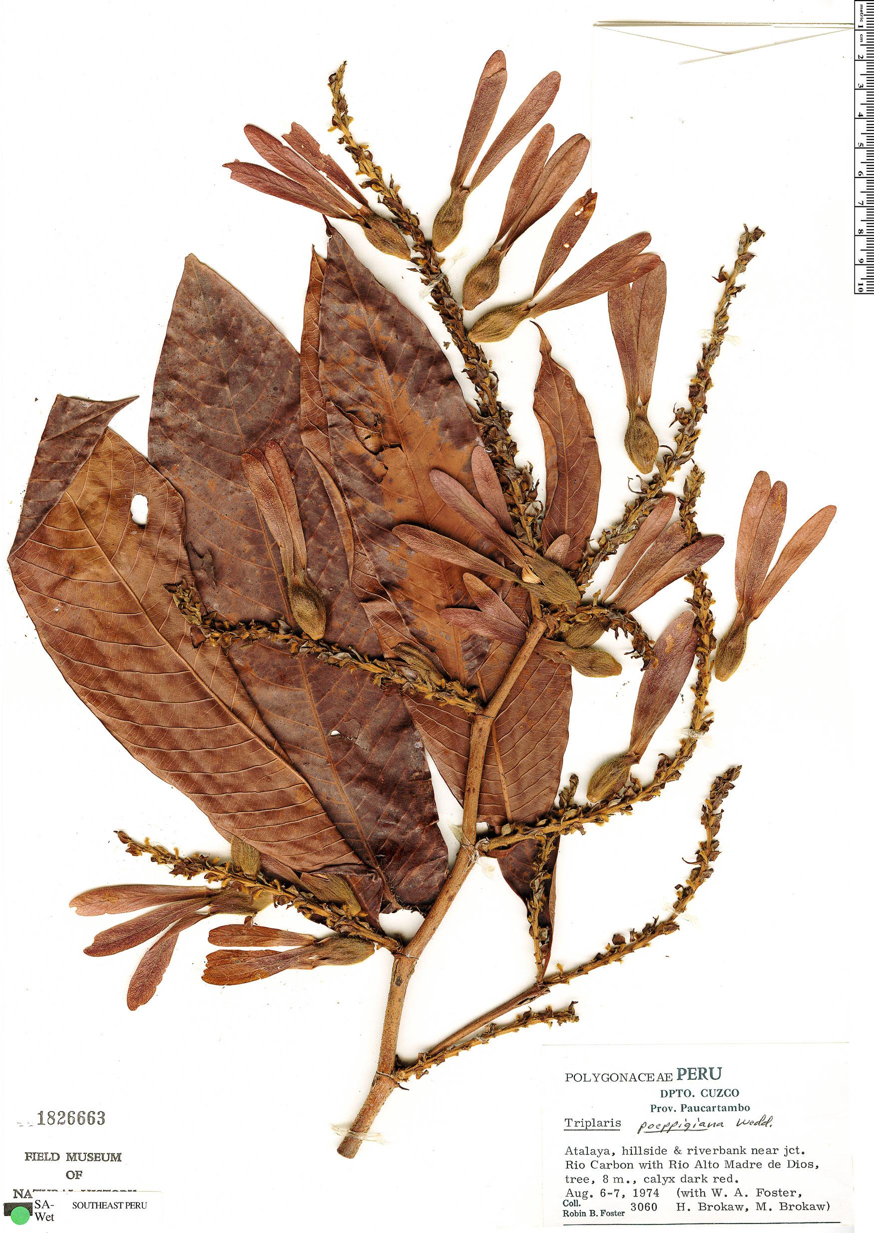 Espécimen: Triplaris poeppigiana