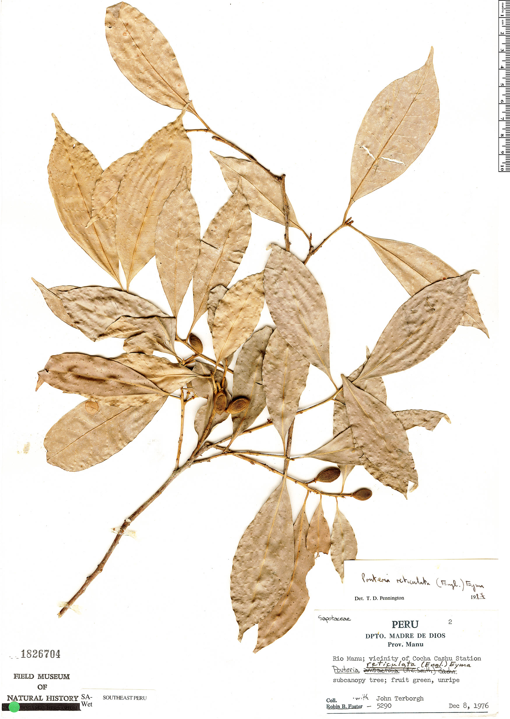 Specimen: Pouteria reticulata