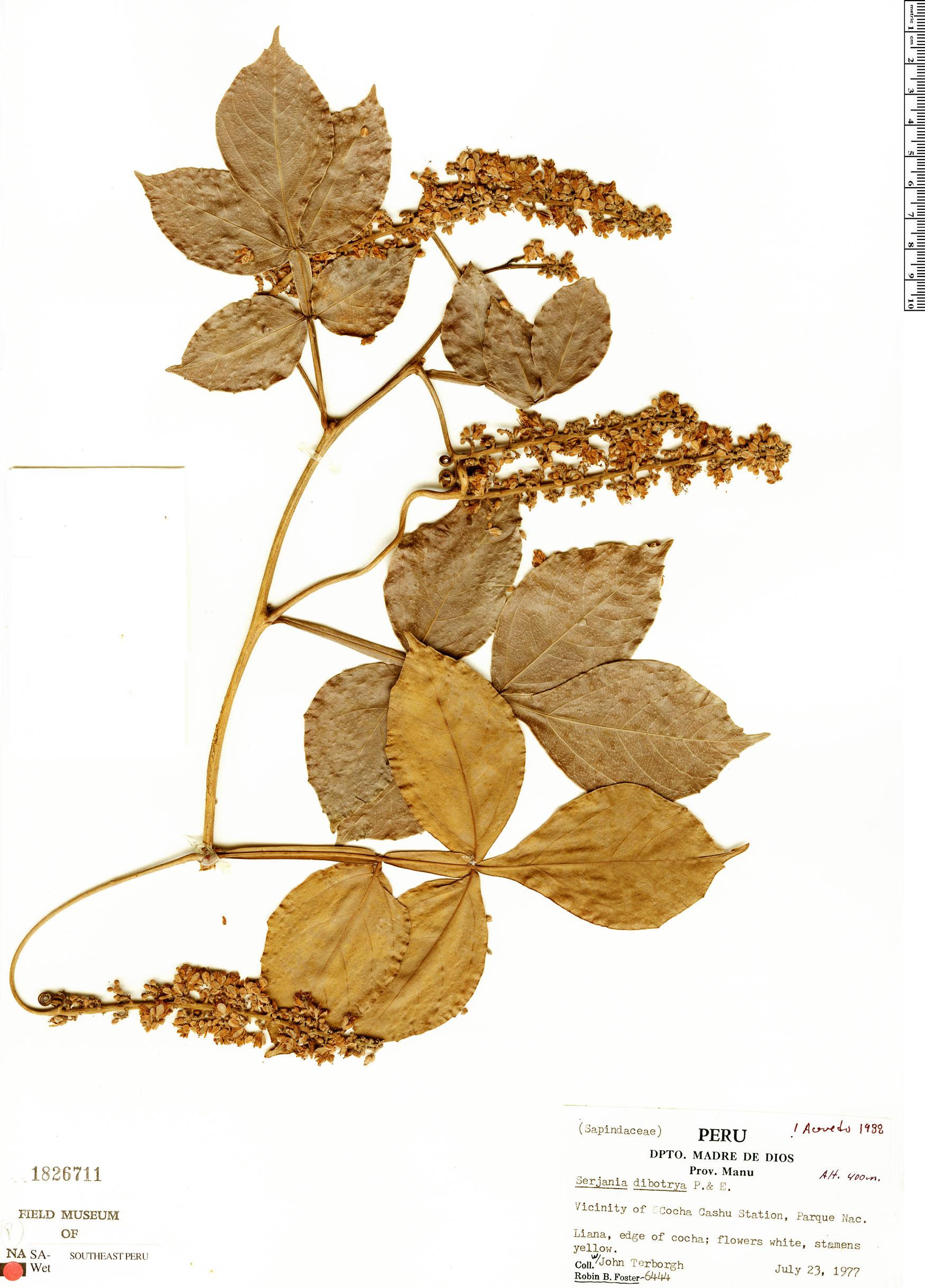 Specimen: Serjania dibotrya
