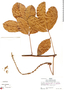 Paullinia obovata var. polymorpha D. R. Simpson, Peru, R. B. Foster 5162, F