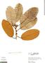 Ficus cf. albert-smithii Standl., Peru, R. B. Foster 4069, F