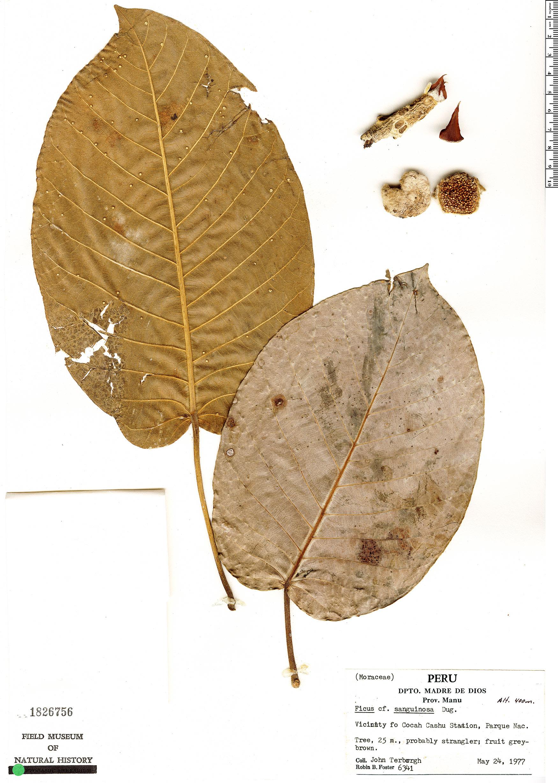 Specimen: Ficus pastasana