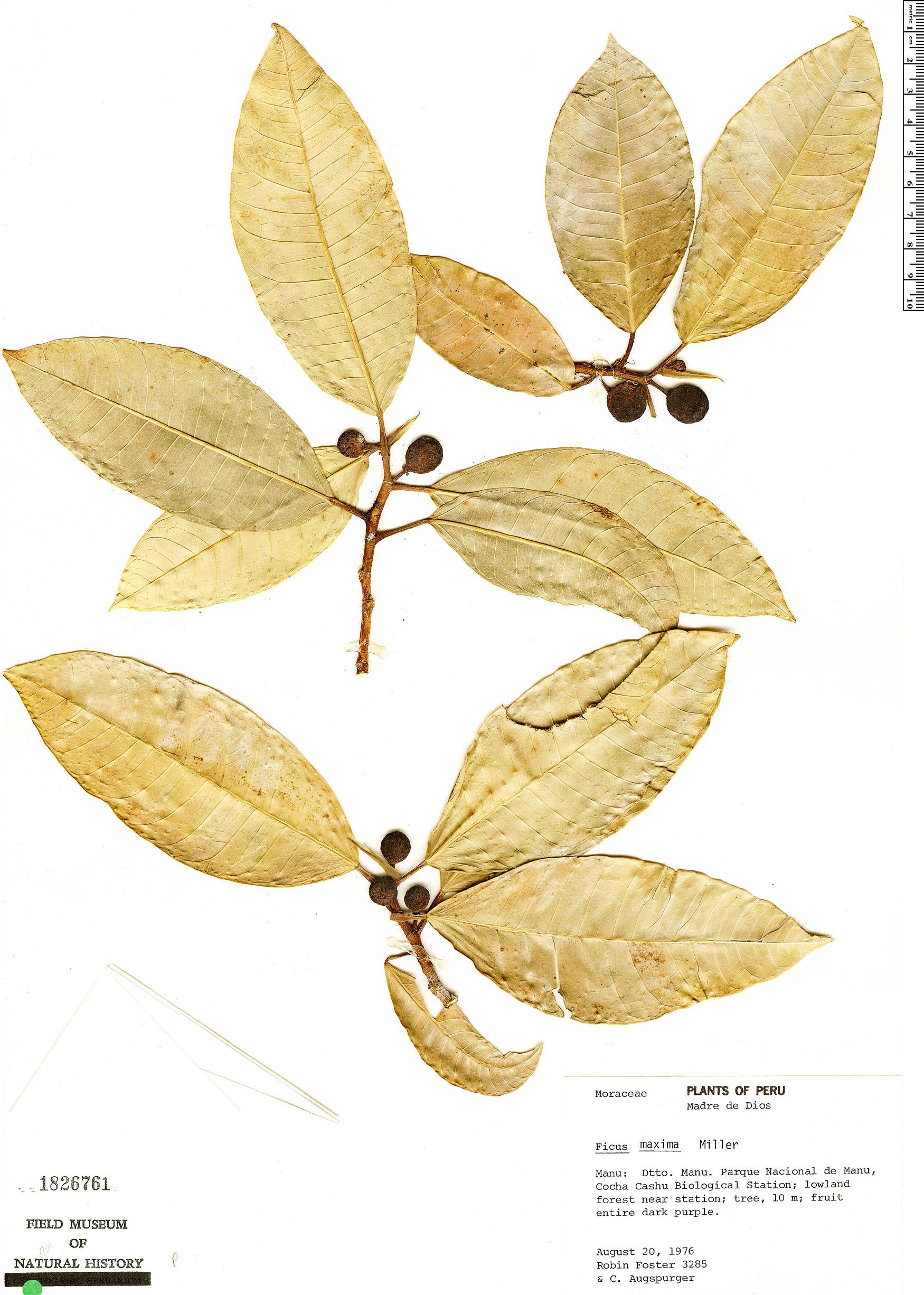 Specimen: Ficus maxima