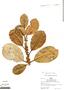 Ficus americana subsp. guianensis (Desv.) C. C. Berg, Peru, R. B. Foster 5018, F