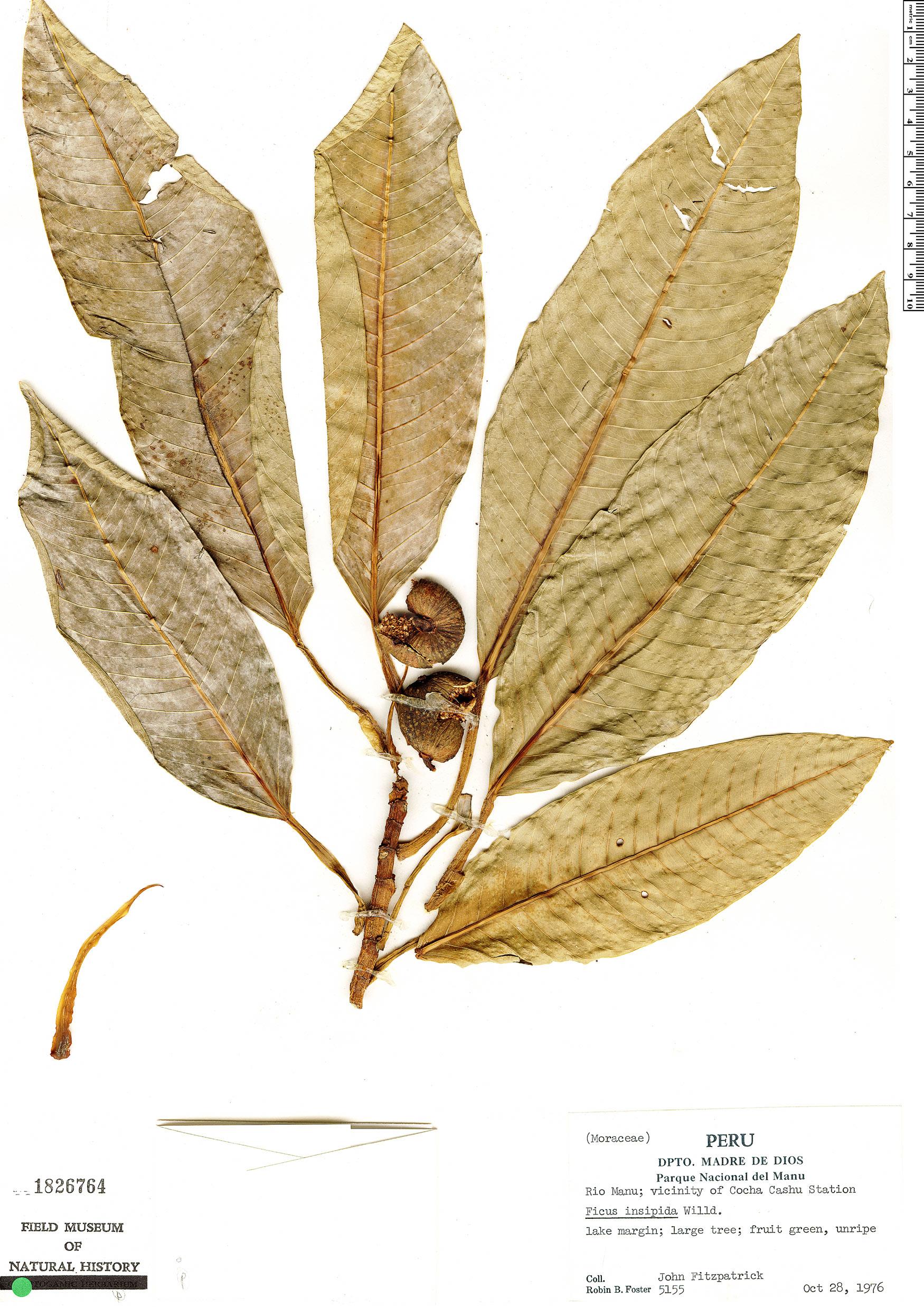 Specimen: Ficus insipida