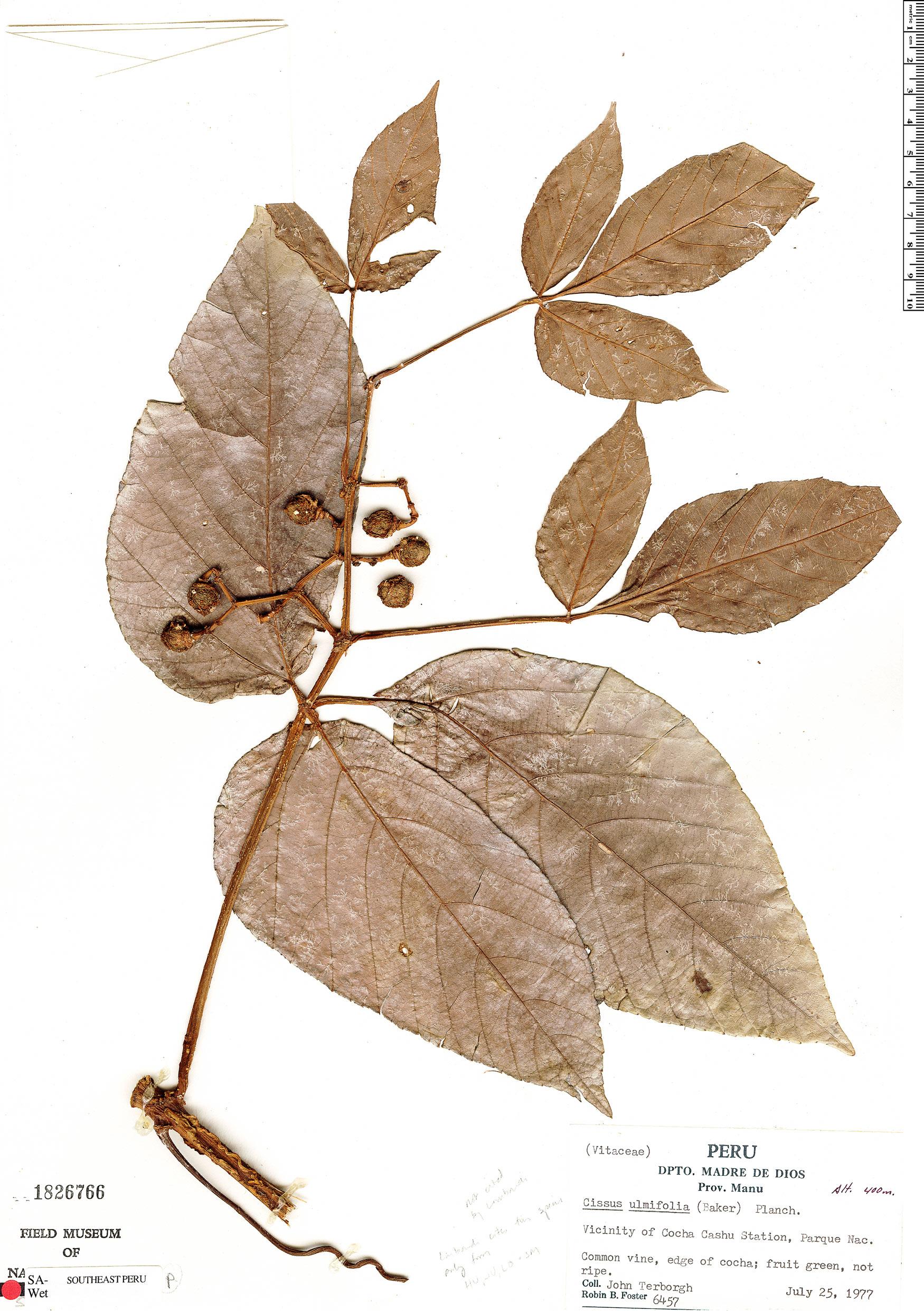 Espécimen: Cissus ulmifolia