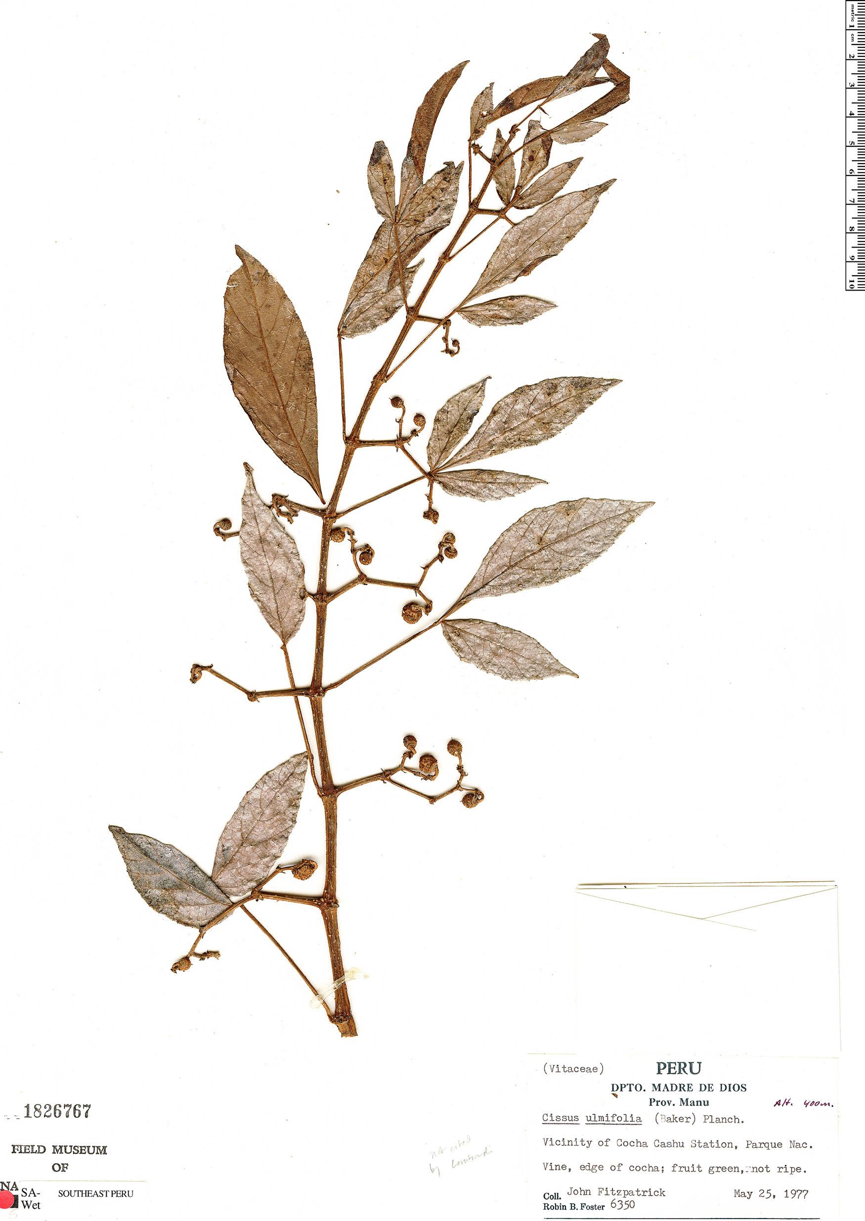 Specimen: Cissus ulmifolia