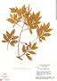 Paullinia carpopodea, Brazil, H. S. Irwin 29394, F