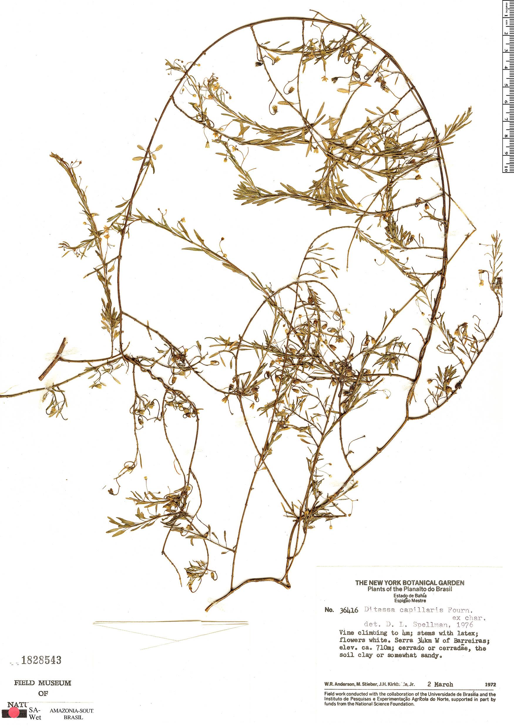 Specimen: Ditassa capillaris