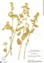 Sida cordifolia L., Brazil, H. S. Irwin 14536a, F