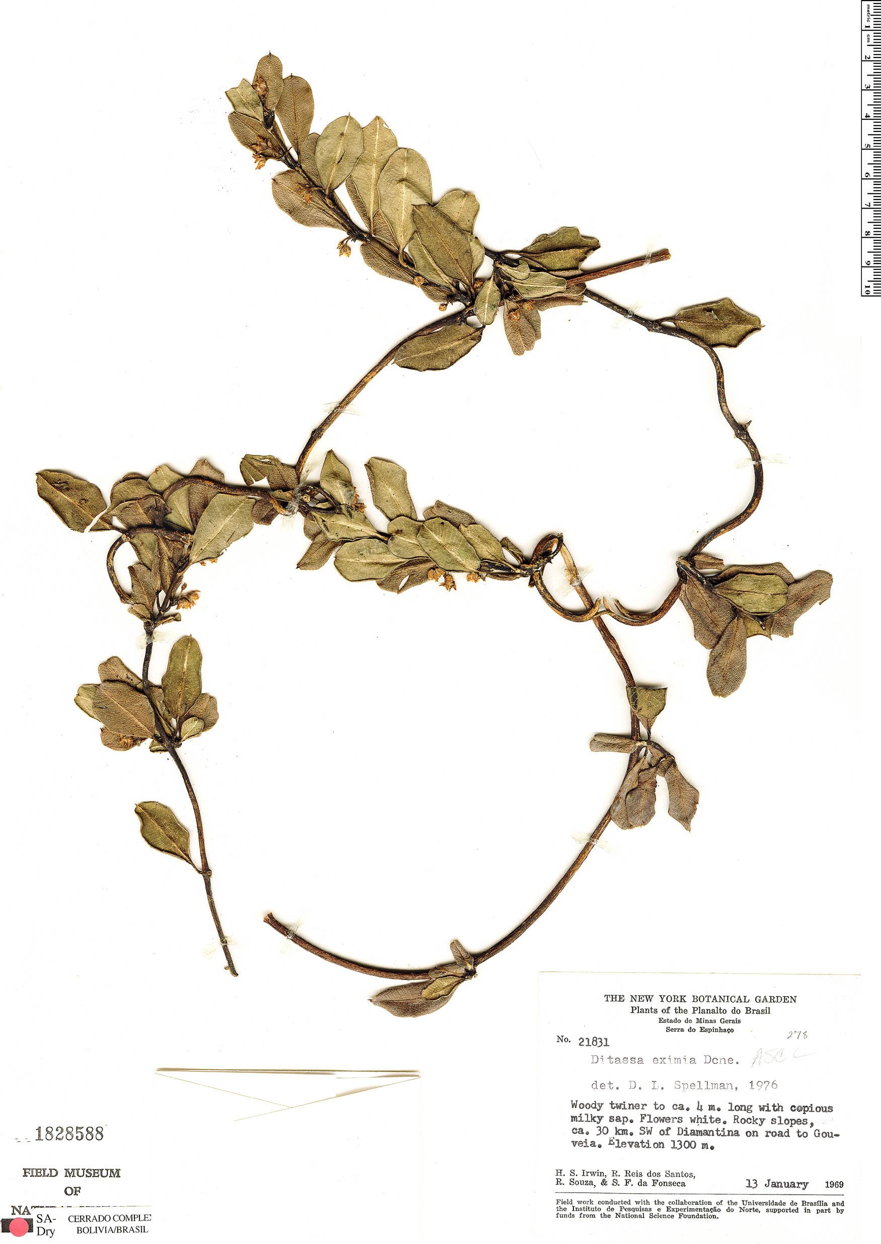 Specimen: Ditassa eximia