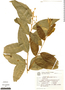 Cestrum strigilatum, Brazil, G. G. Hatschbach 20377, F