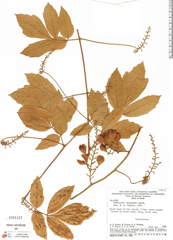 Specimen: Paullinia caloptera