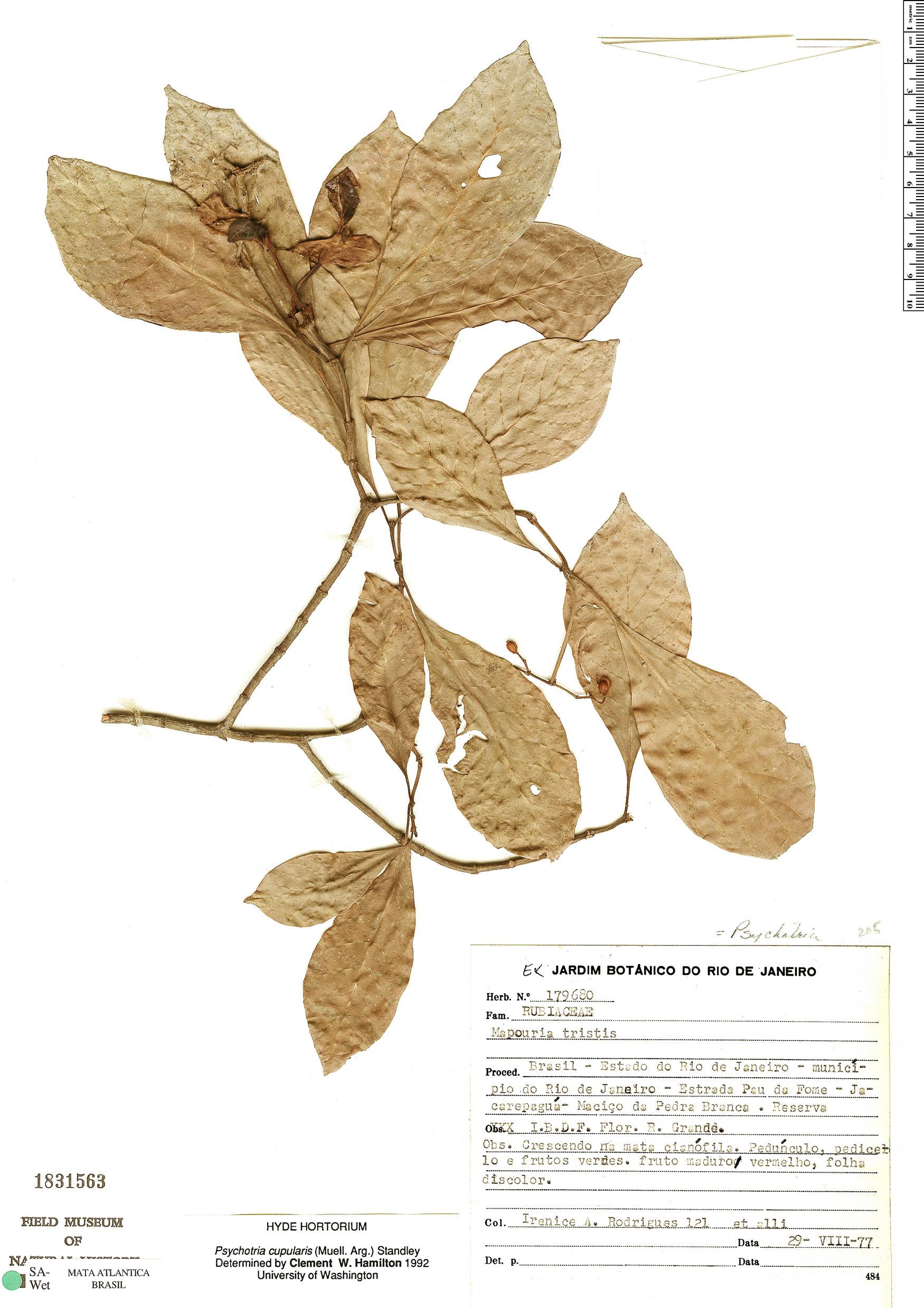 Espécimen: Psychotria cupularis