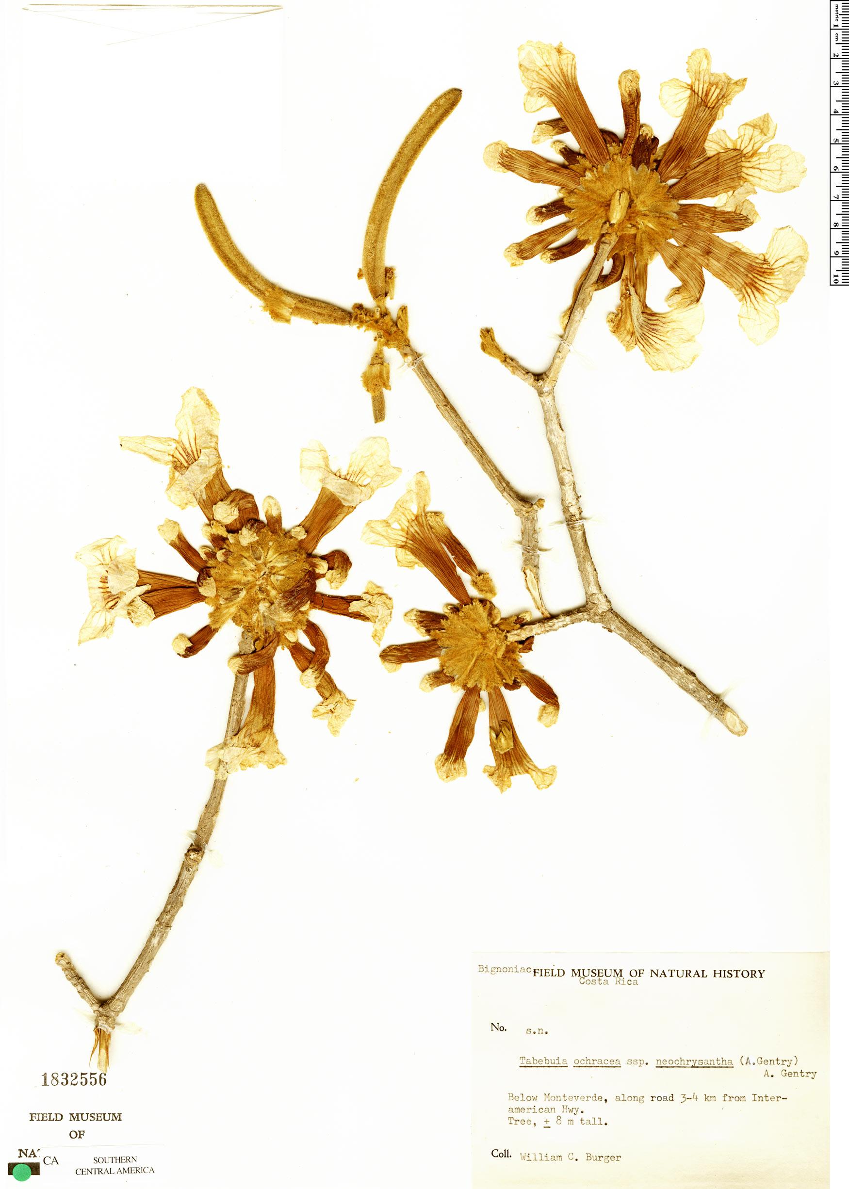 Espécimen: Handroanthus ochraceus