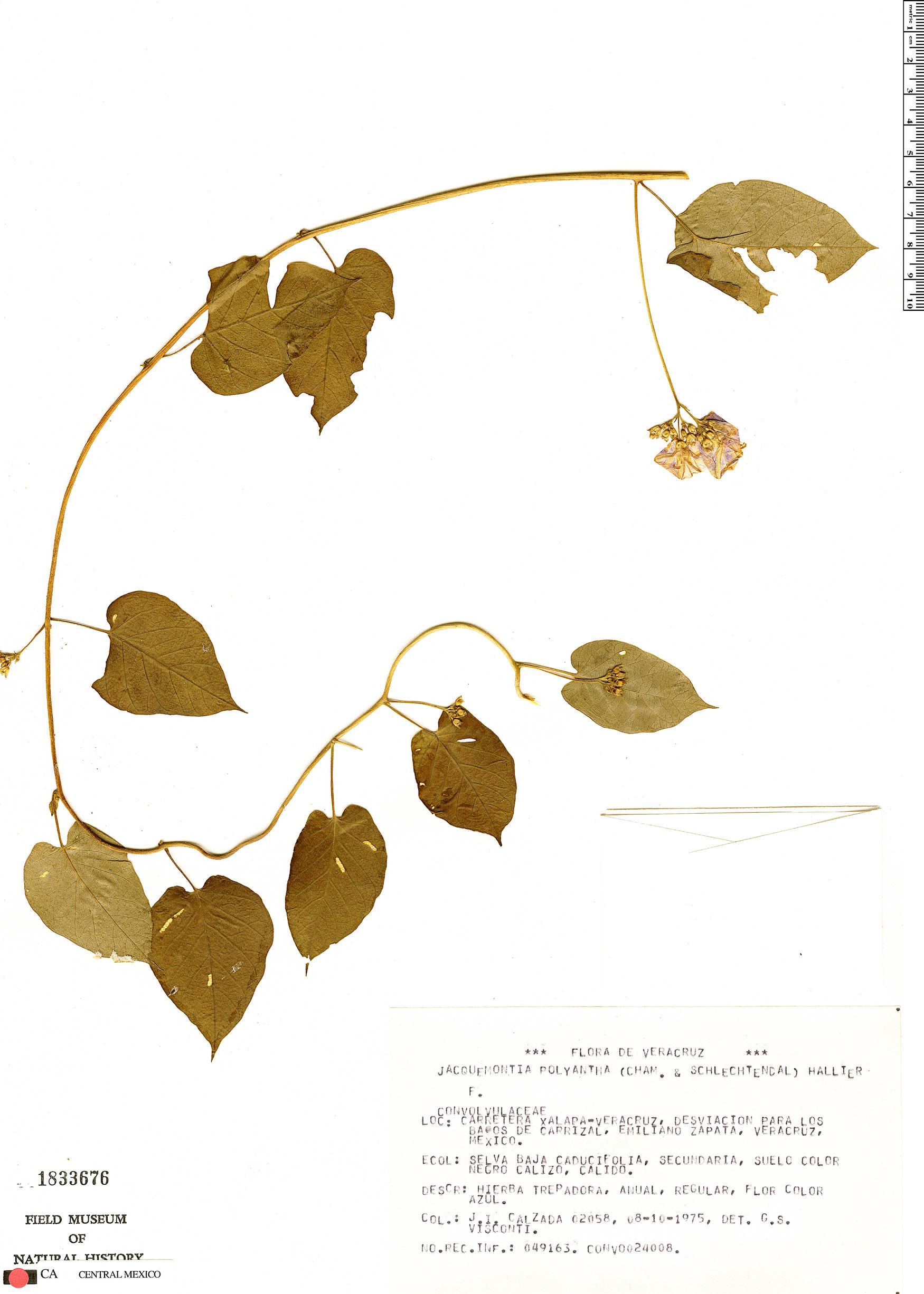 Jacquemontia polyantha image