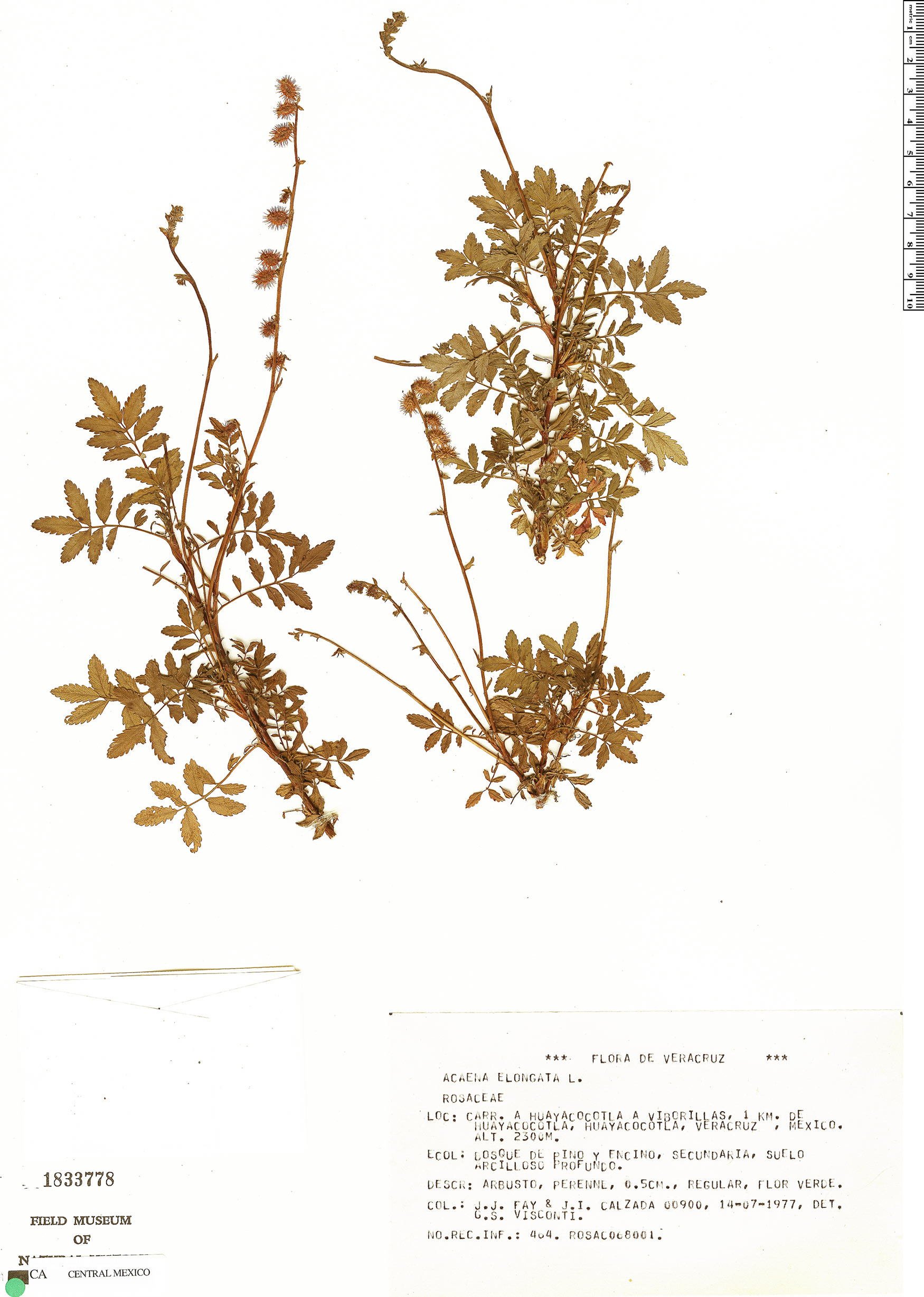 Acaena elongata image