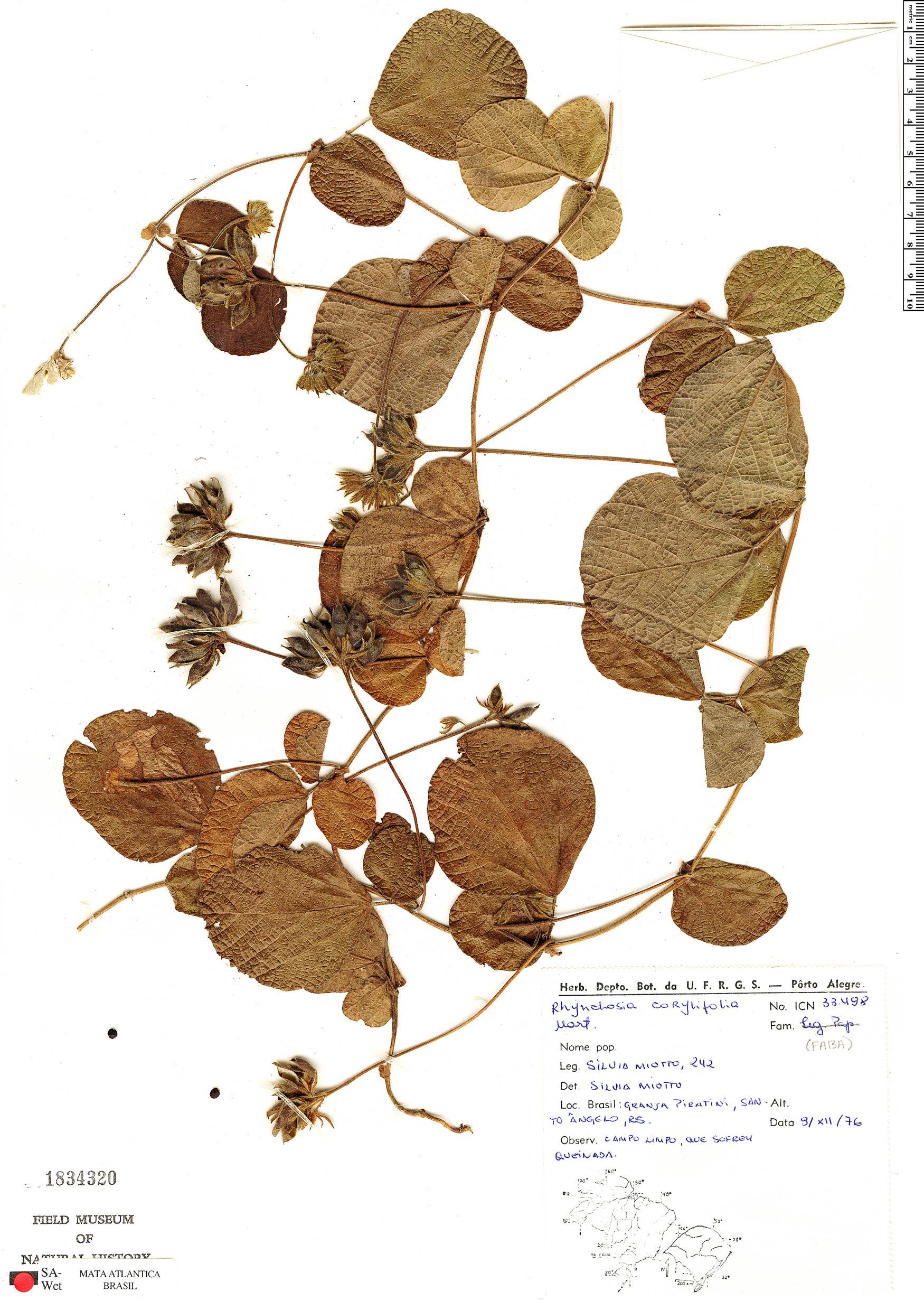 Specimen: Rhynchosia corylifolia