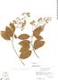 Ehretia tinifolia L., Mexico, D. E. Breedlove 30658, F