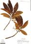 Virola flexuosa A. C. Sm., Peru, M. A. Soria S. 5, F