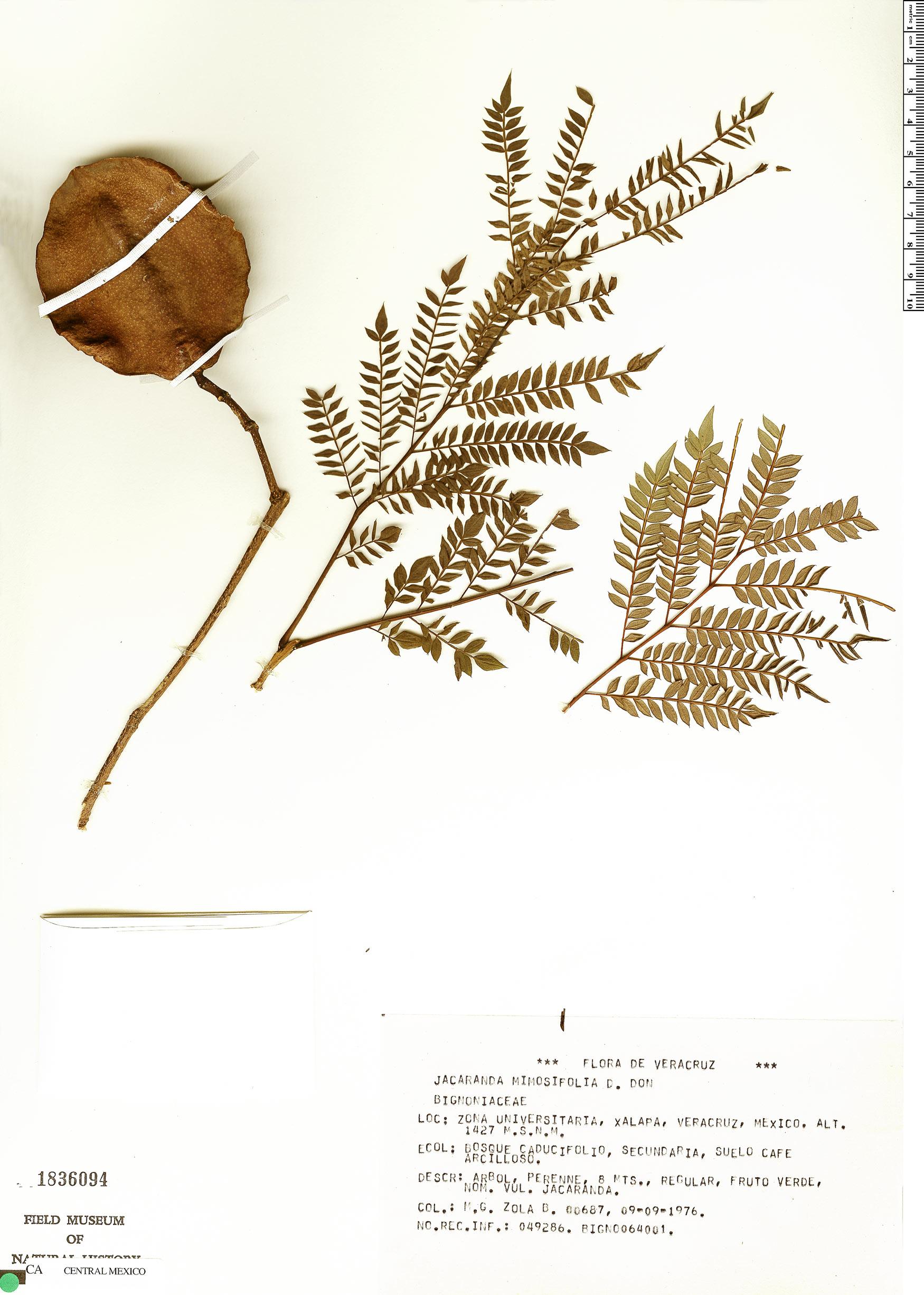 Espécimen: Jacaranda mimosifolia
