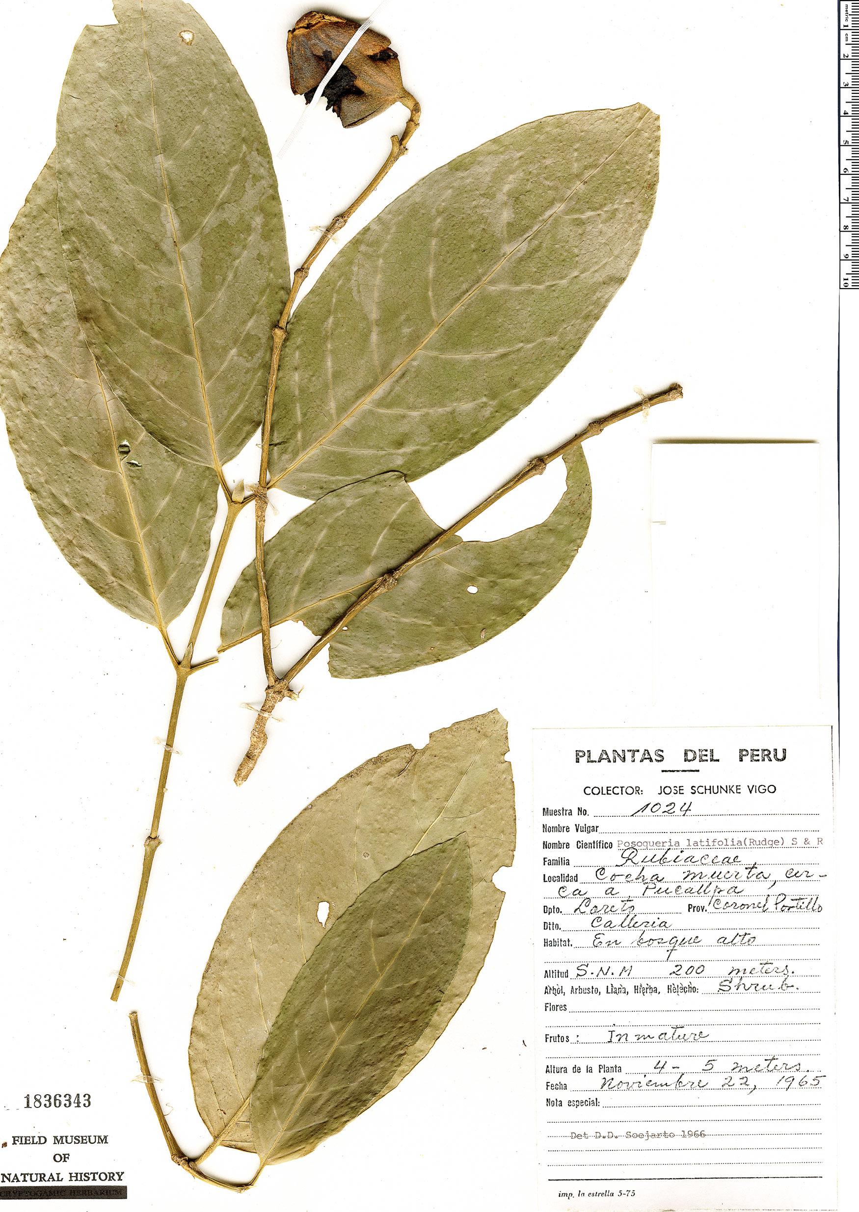 Specimen: Posoqueria latifolia