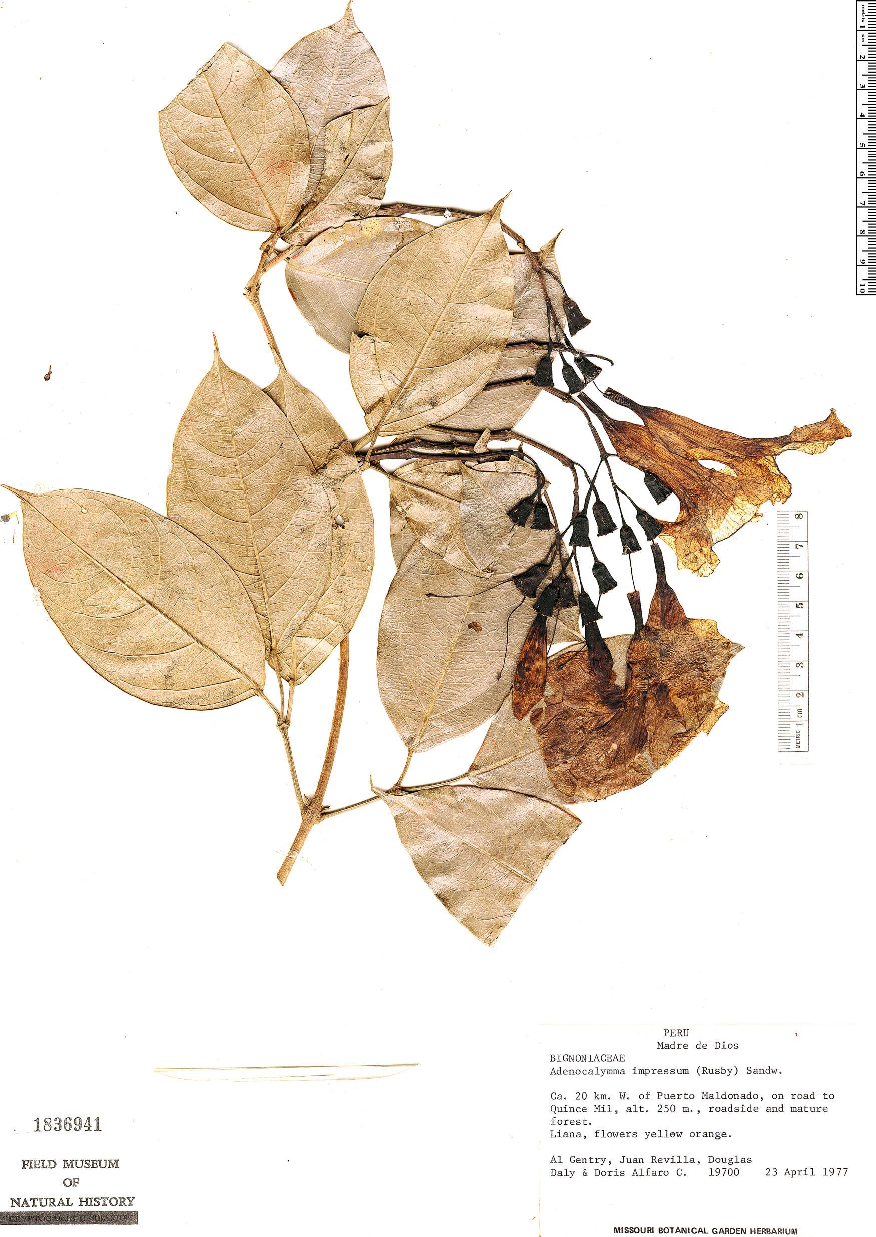 Specimen: Adenocalymma impressum