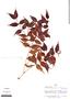 Mouriri myrtifolia Spruce ex Triana, Peru, A. H. Gentry 16517, F