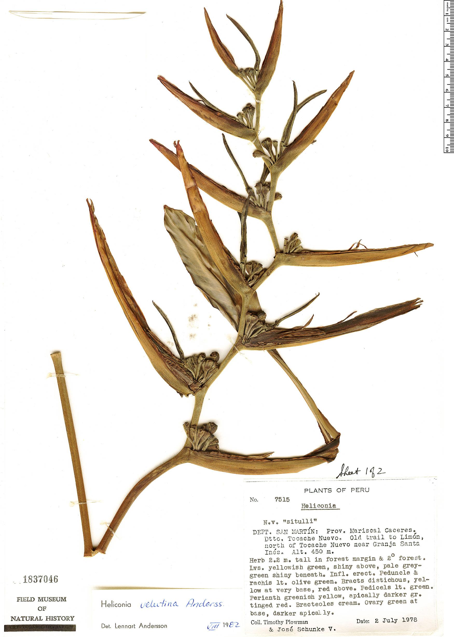 Specimen: Heliconia velutina